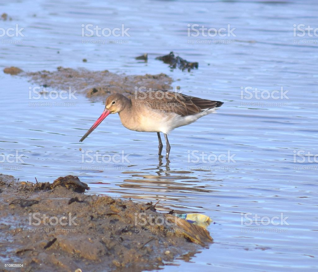 black tailed godwit wading in the water stock photo
