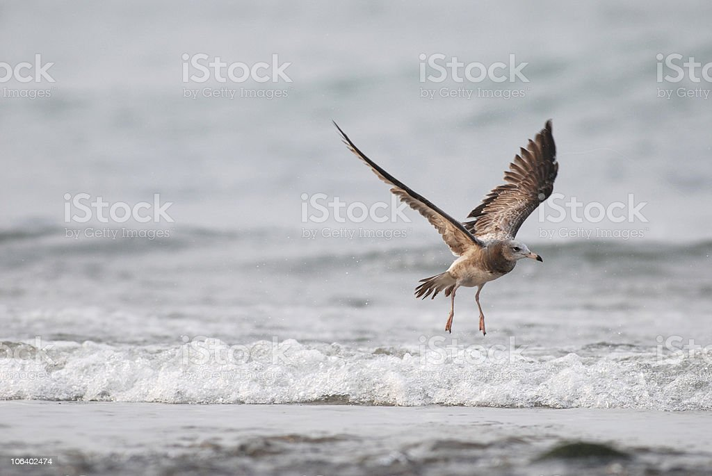 Black tailed gull in asia royalty-free stock photo