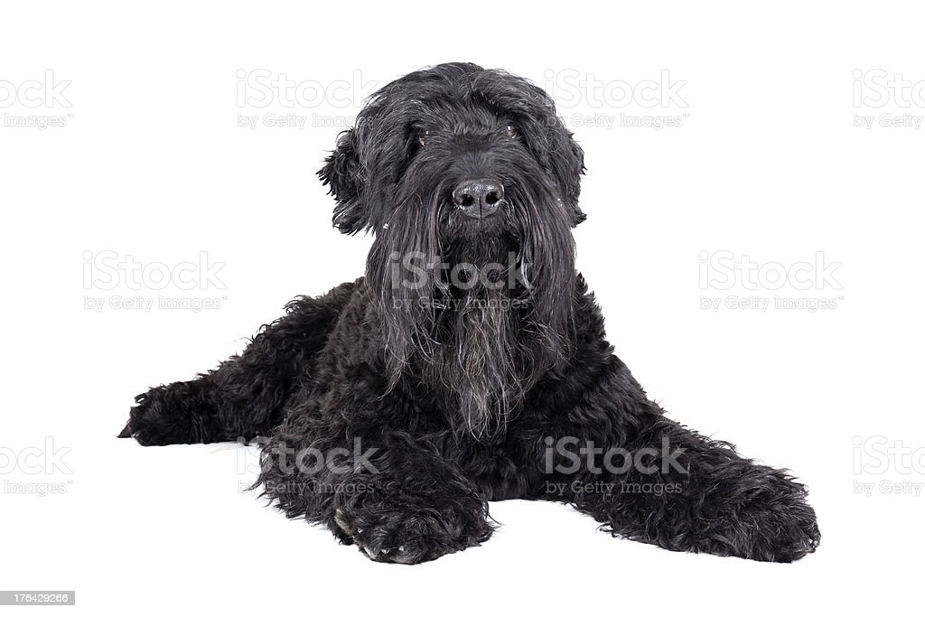 black terrier on a white background stock photo