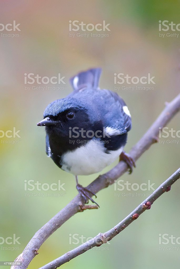 Black Throated Blue Warbler on Perch royalty-free stock photo