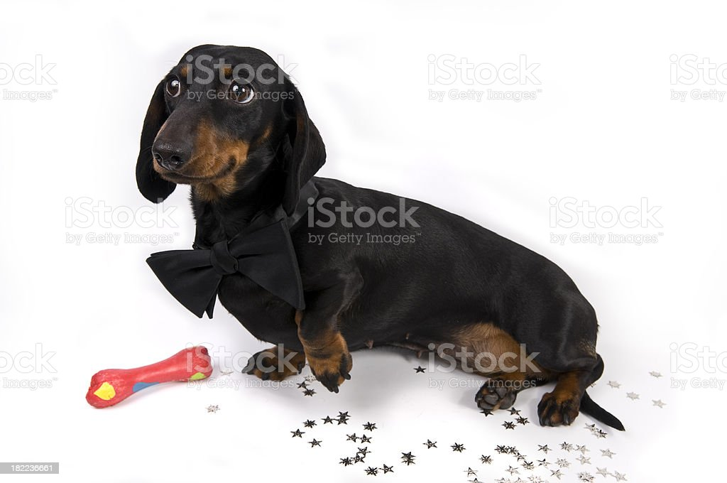 Black Tie Dachshund stock photo