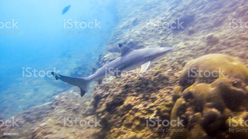 Black Tip Reef Shark (Carcharhinus melanopterus) Elasmobranch Andaman Thailand stock photo