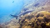 Black Tip Reef Shark (Carcharhinus melanopterus) Elasmobranch Andaman Thailand