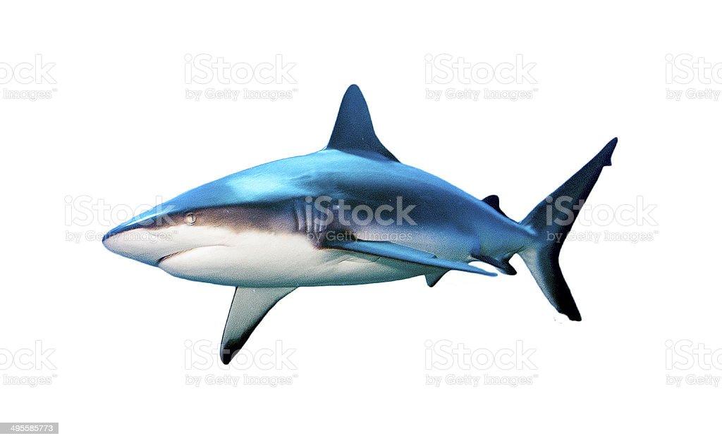 Black Tip Reef Shark Isolated on White Background stock photo