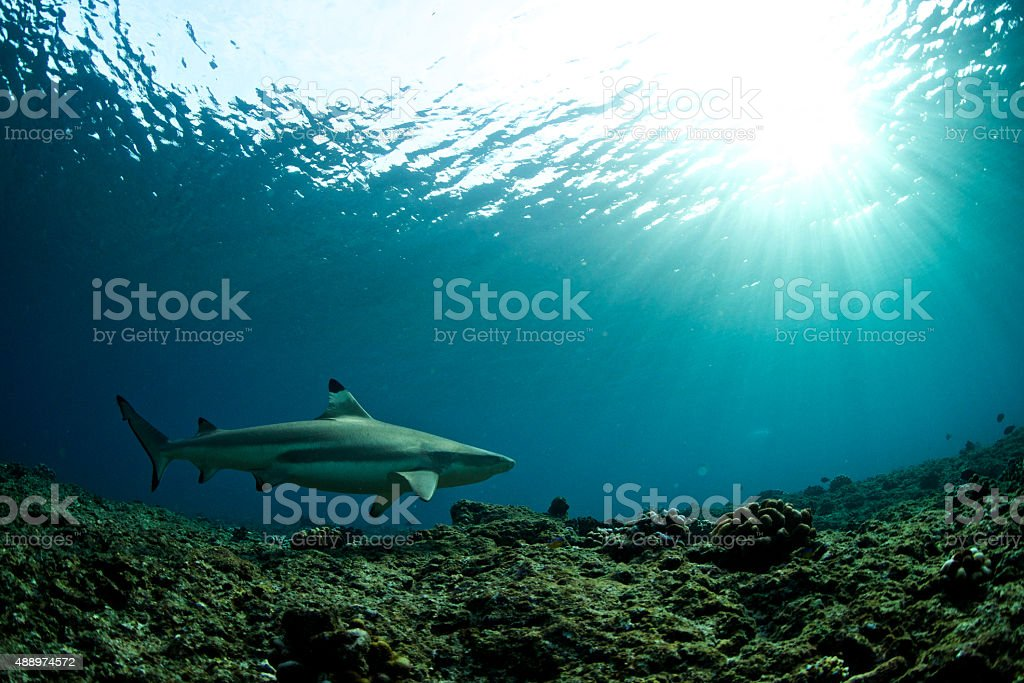 Black tip reef shark swims below the sun stock photo