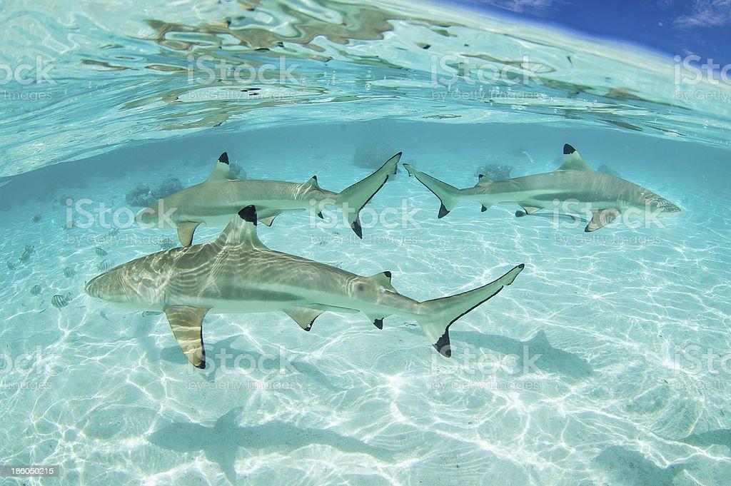 Black Tip Sharks stock photo