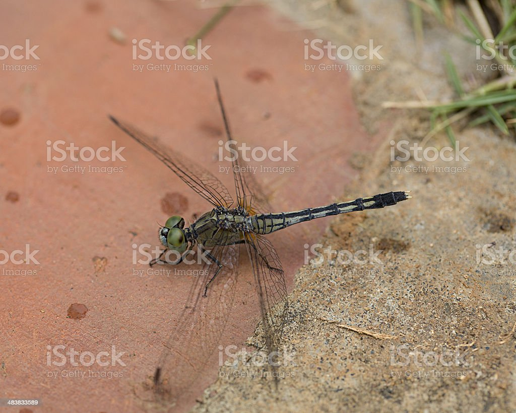 Black Tipped Ground Skimmer DragonFly on Brick stock photo