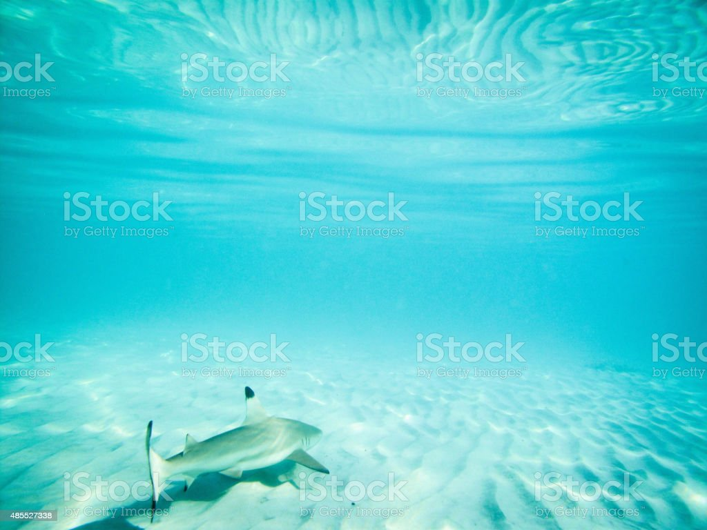 Black tipped reef shark in shallow waters stock photo