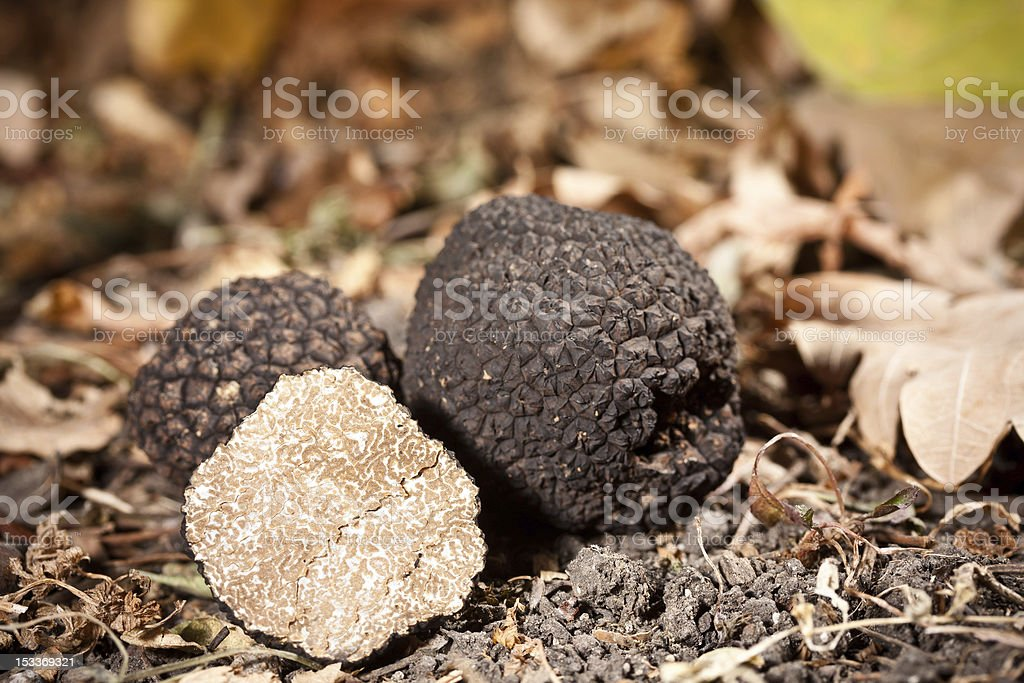 Black truffles growing in the Forrest royalty-free stock photo