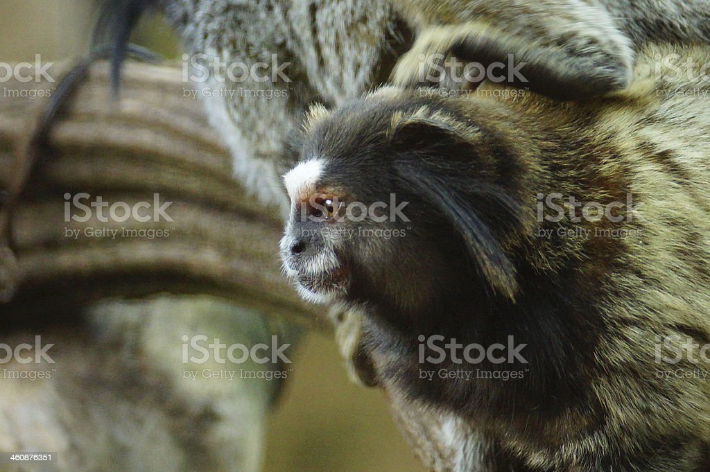 Black tufted-ear marmoset stock photo