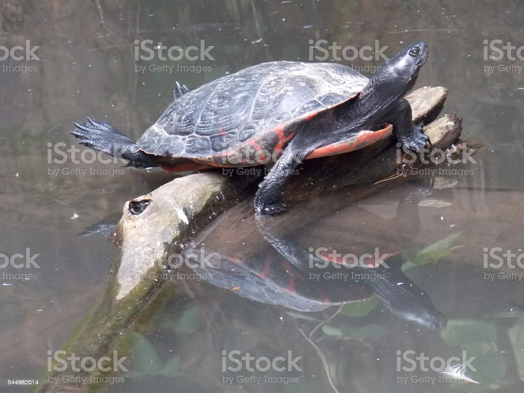 Black Turtle Stretching While Reflected in Pond stock photo