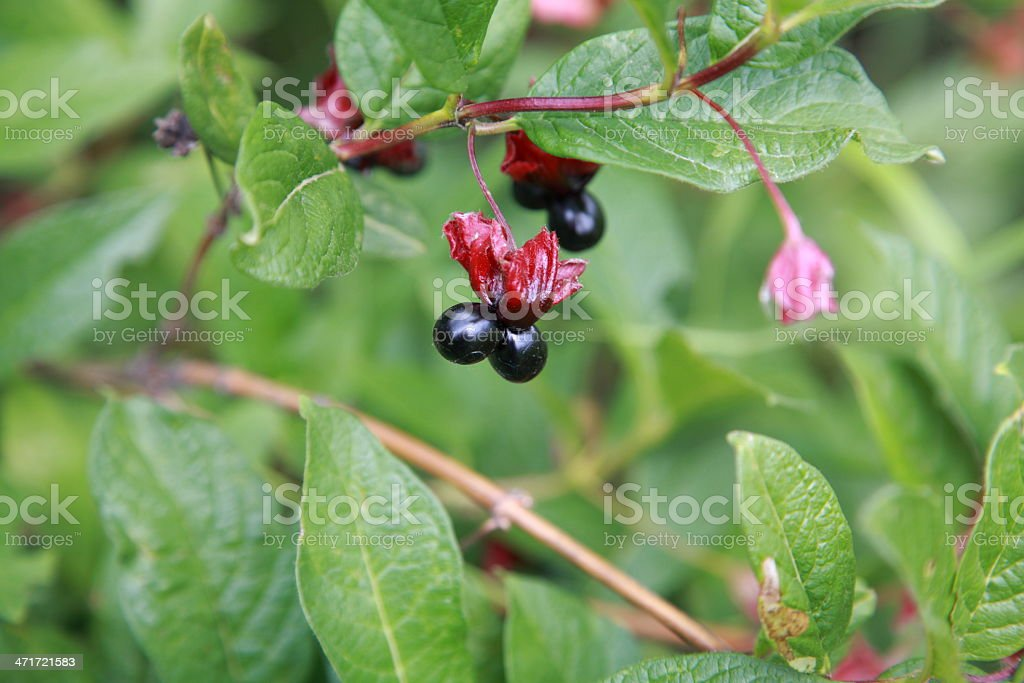 Black Twinberry Honeysuckle Berries On A Branch stock photo