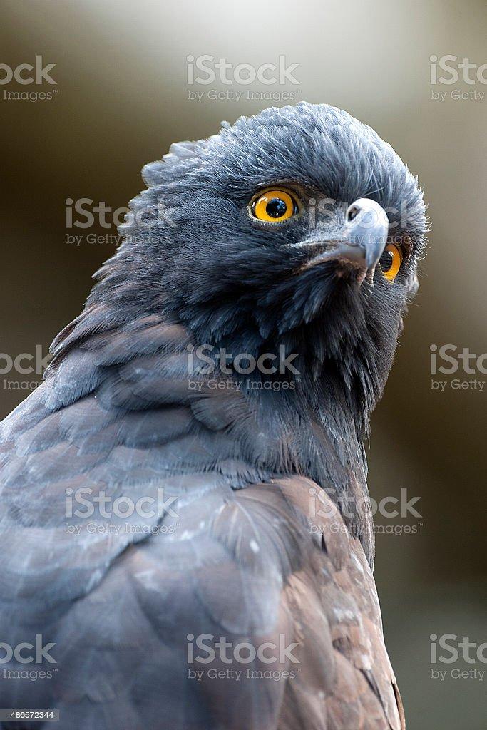 Black tyrant hawk eagle stock photo