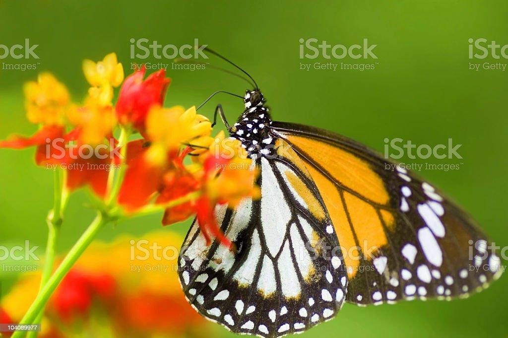 Black Veined Tiger (Danaus melanippus) Butterfly royalty-free stock photo