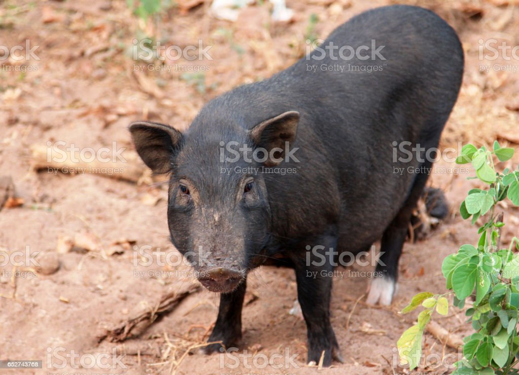 Black vietnamese pig in the yard stock photo
