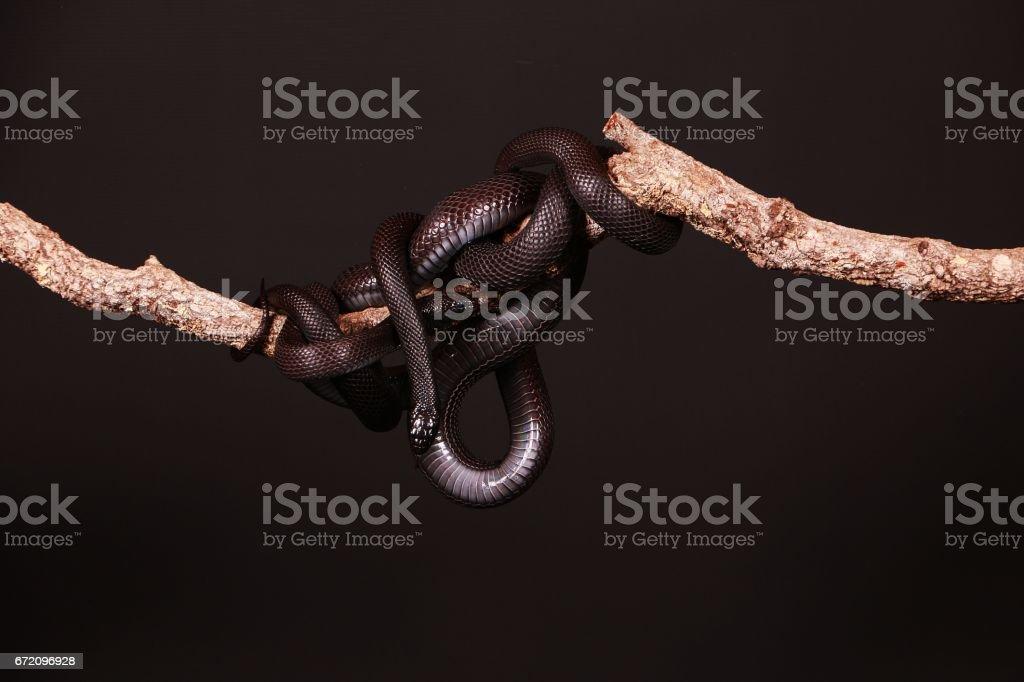 black vipers stock photo