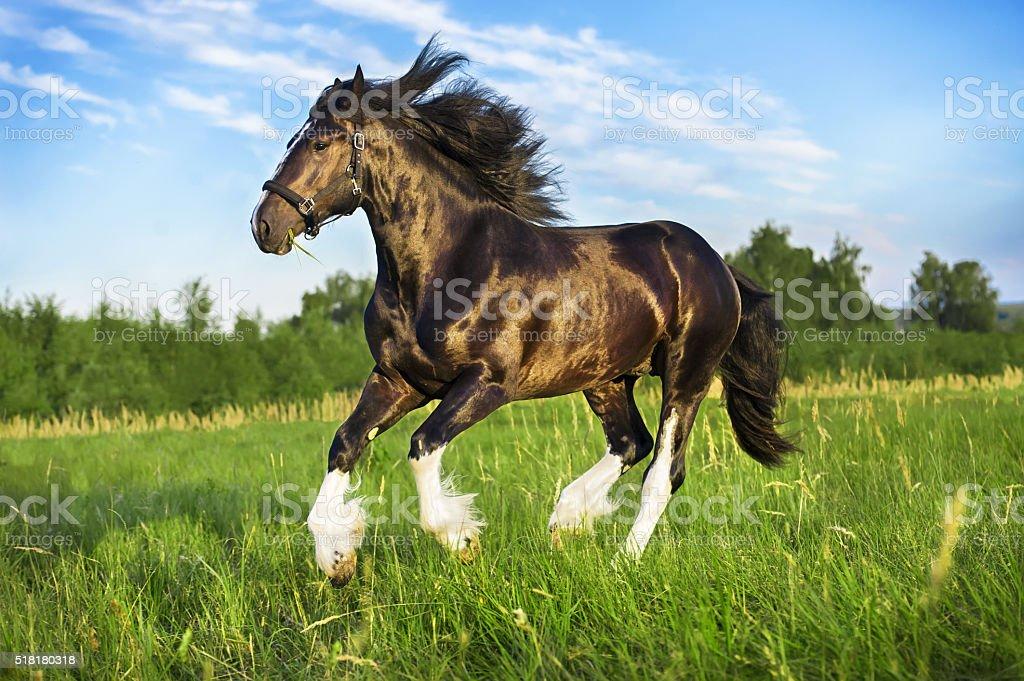 Black Vladimir draft horse runs gallop on the pasture stock photo