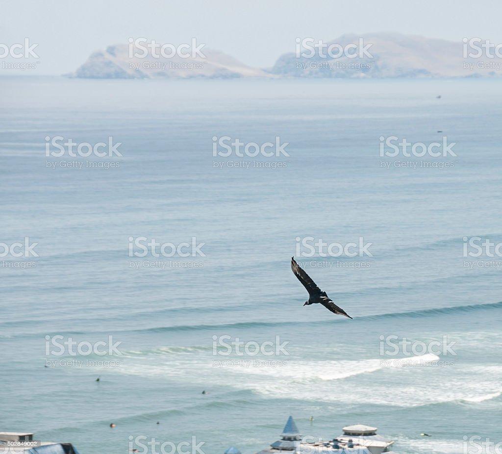 Black Vulture In Flight Over The Coast In Lima, Peru stock photo