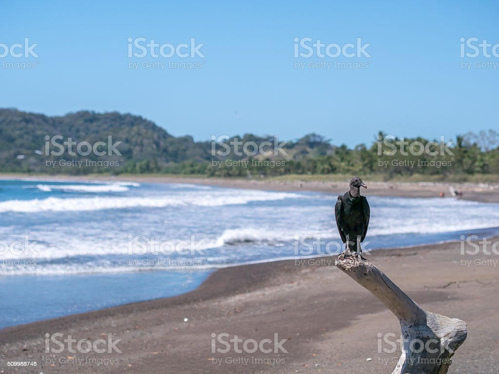 Black Vulture in Samara Beach royalty-free stock photo