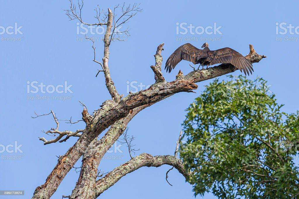 Black Vulture (Coragyps atratus) On Dead Tree, Wings Spread stock photo