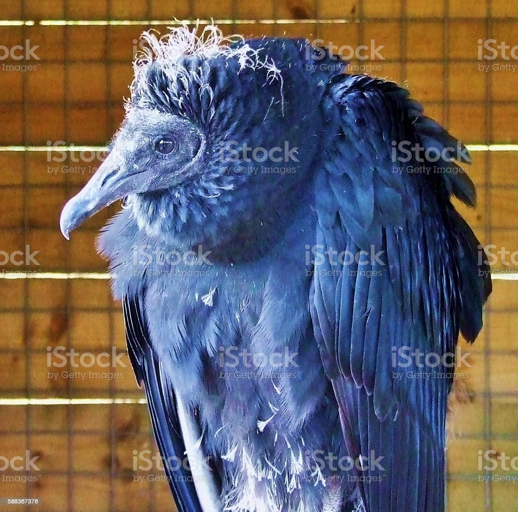 Black Vulture stock photo
