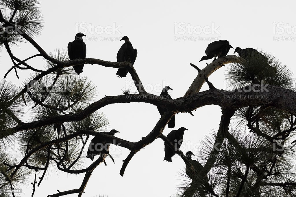 Black Vulture Silhouette stock photo