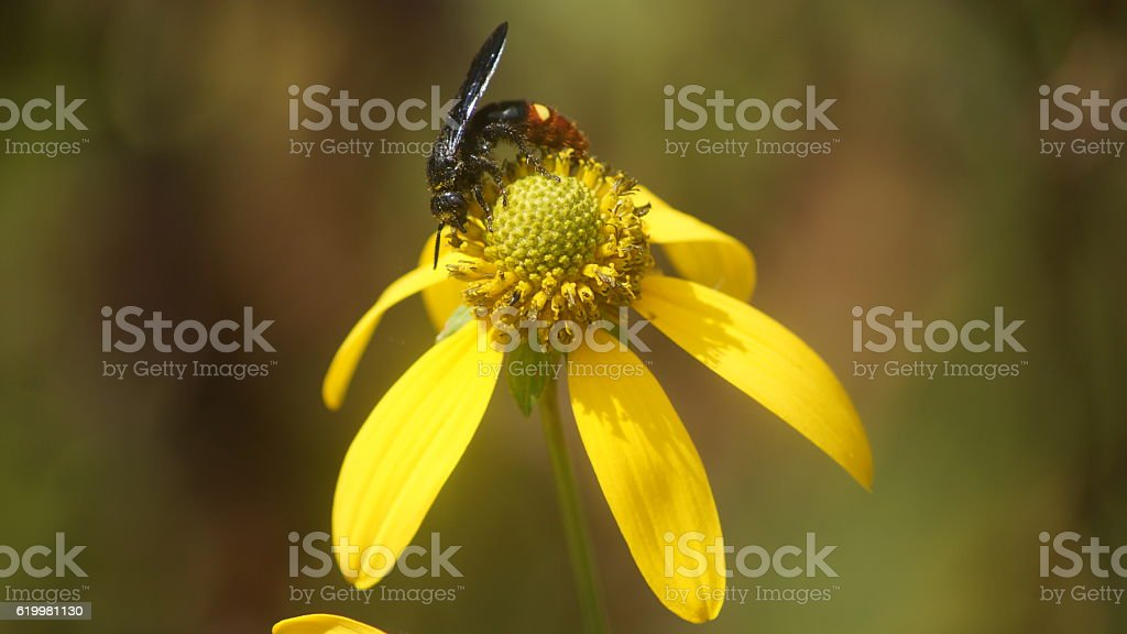 Black wasp resting on a yellow flower. royalty-free stock photo