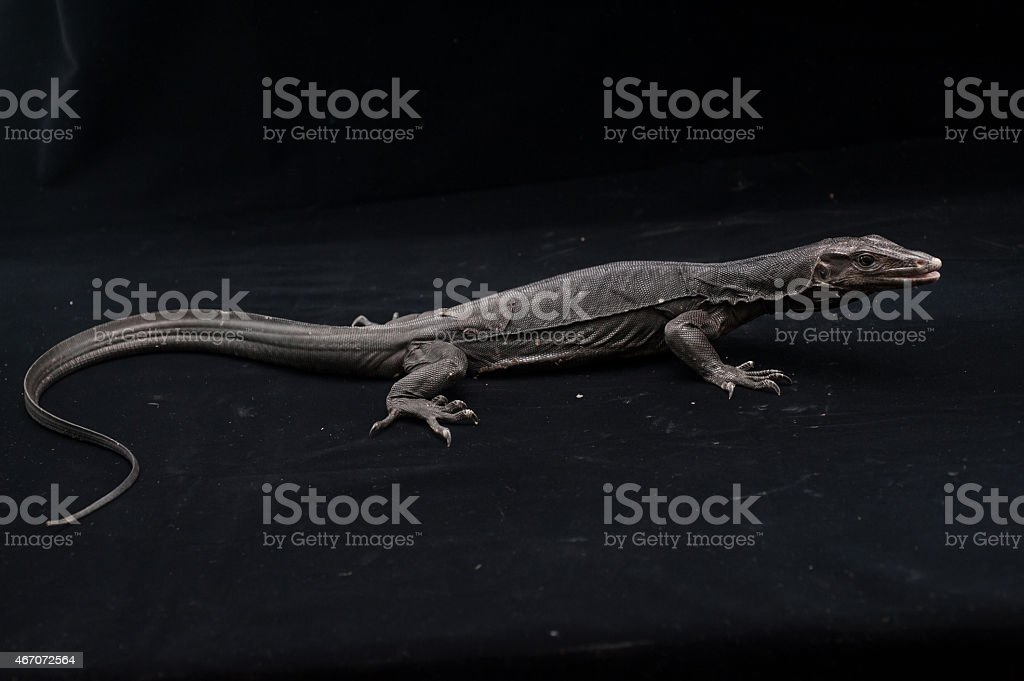 Black water monitor lizard in Studio stock photo