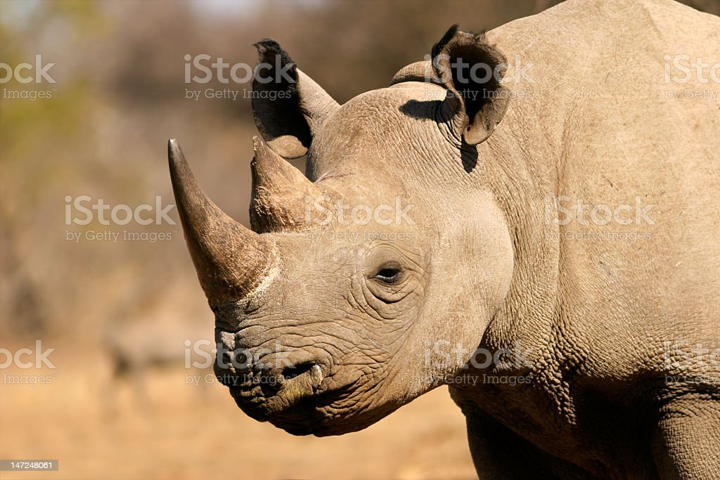 Black Western African Rhinoceros caught grazing in Sahara stock photo