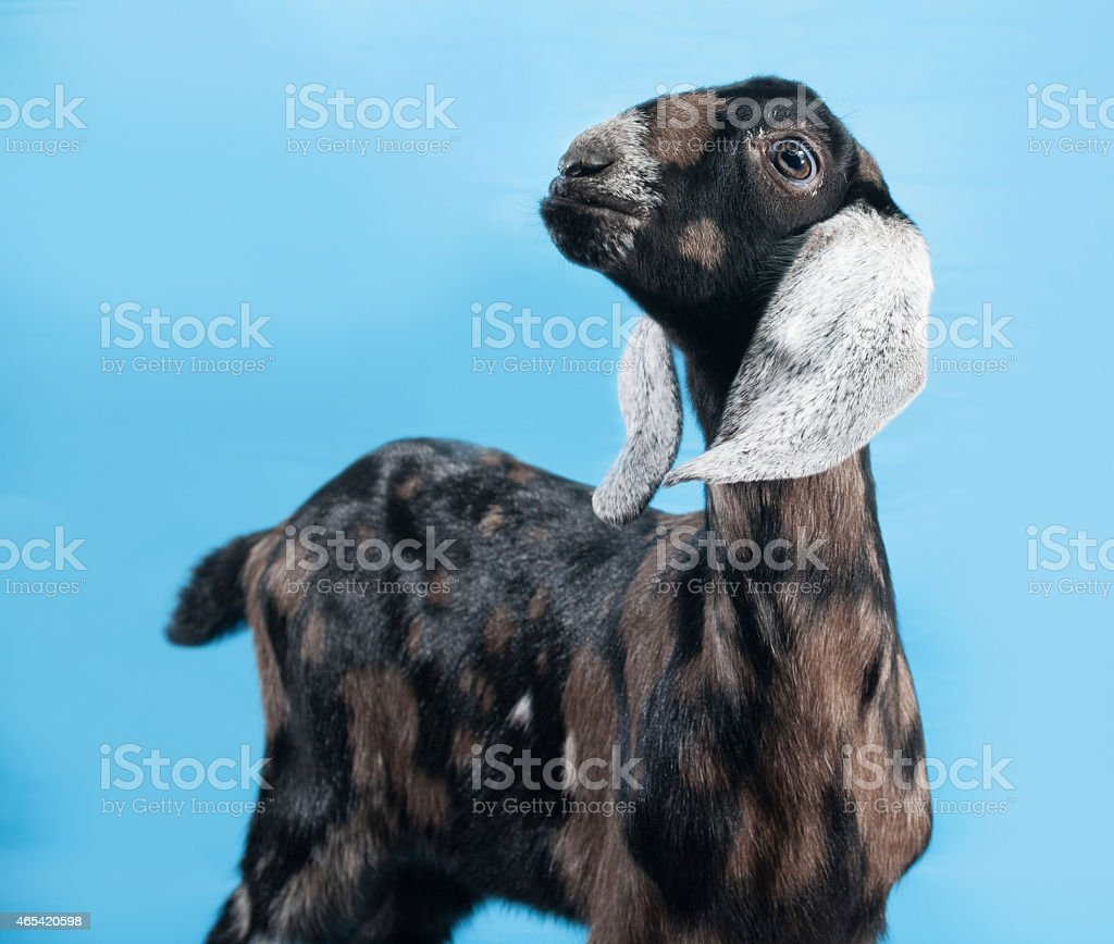 Black, white and red Nubian lamb standing on blue stock photo