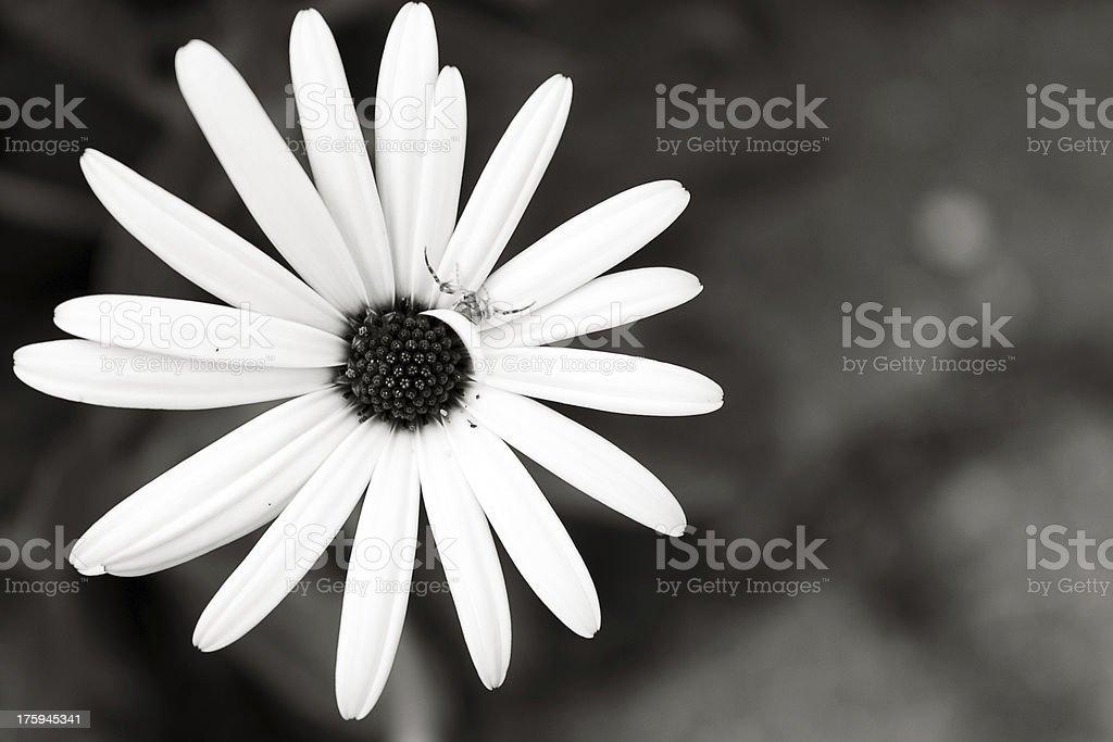 Black & White Camomile royalty-free stock photo