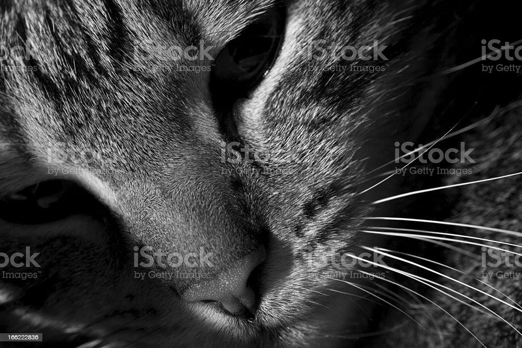 Black & White Cat royalty-free stock photo