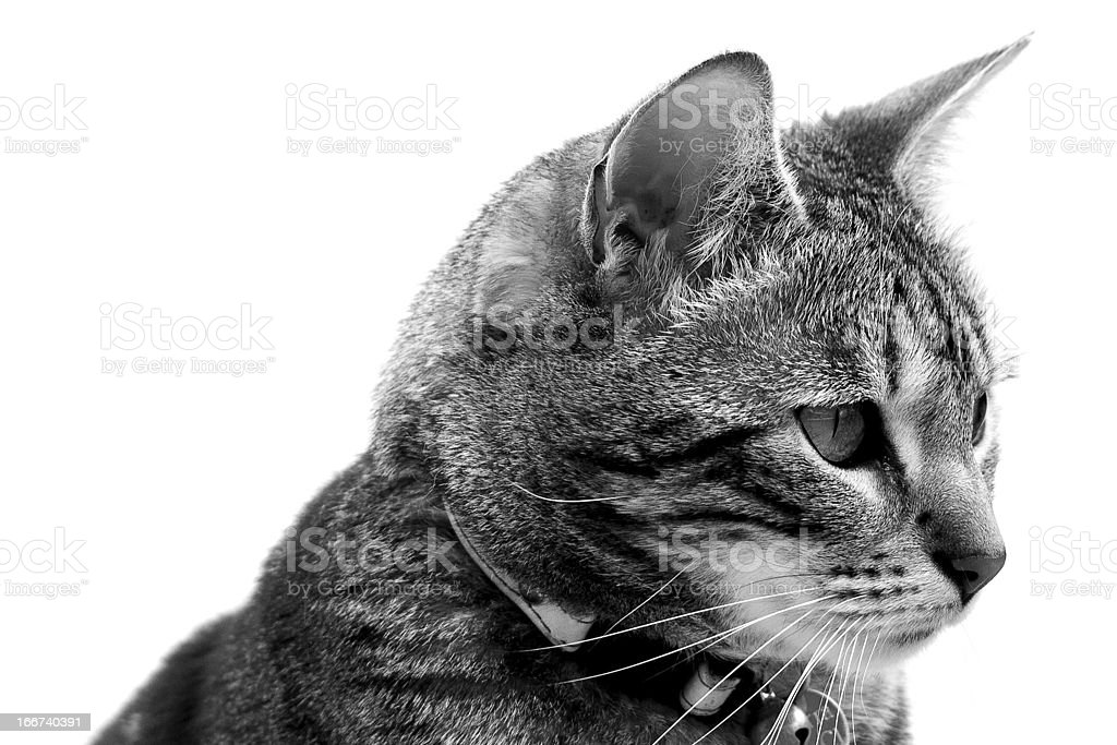Black & White Cat royalty-free stock photo