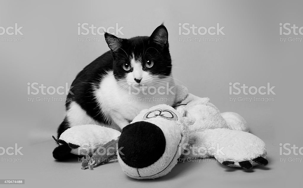 black white cat with a teddy bear studio photo monochrome stock photo