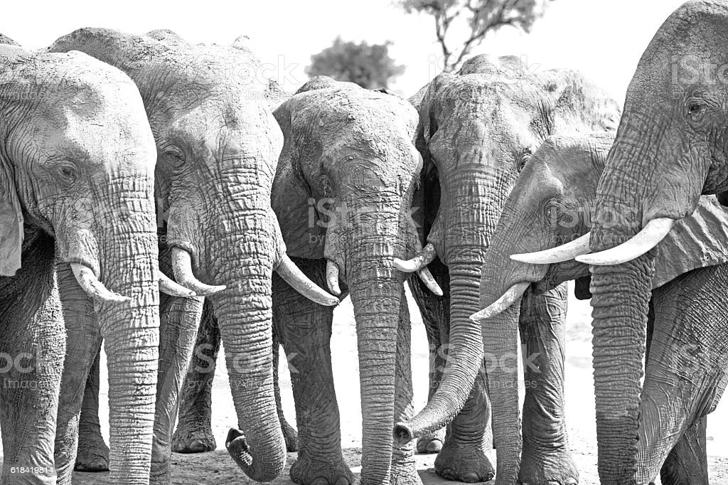 Black & white Elephants with trunks down in a line stock photo