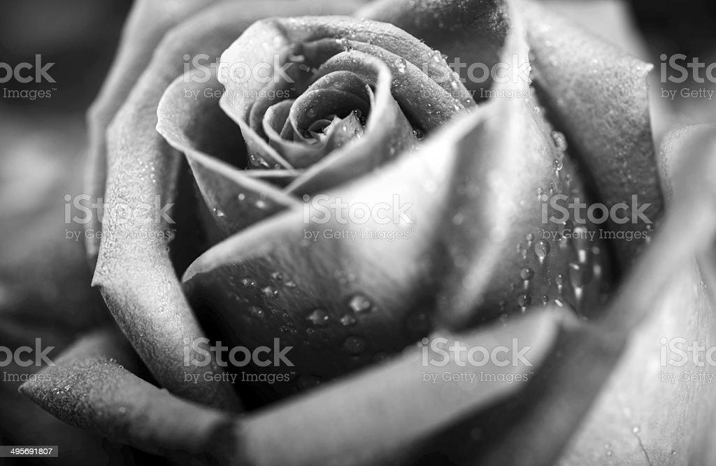 Black & White Rose royalty-free stock photo