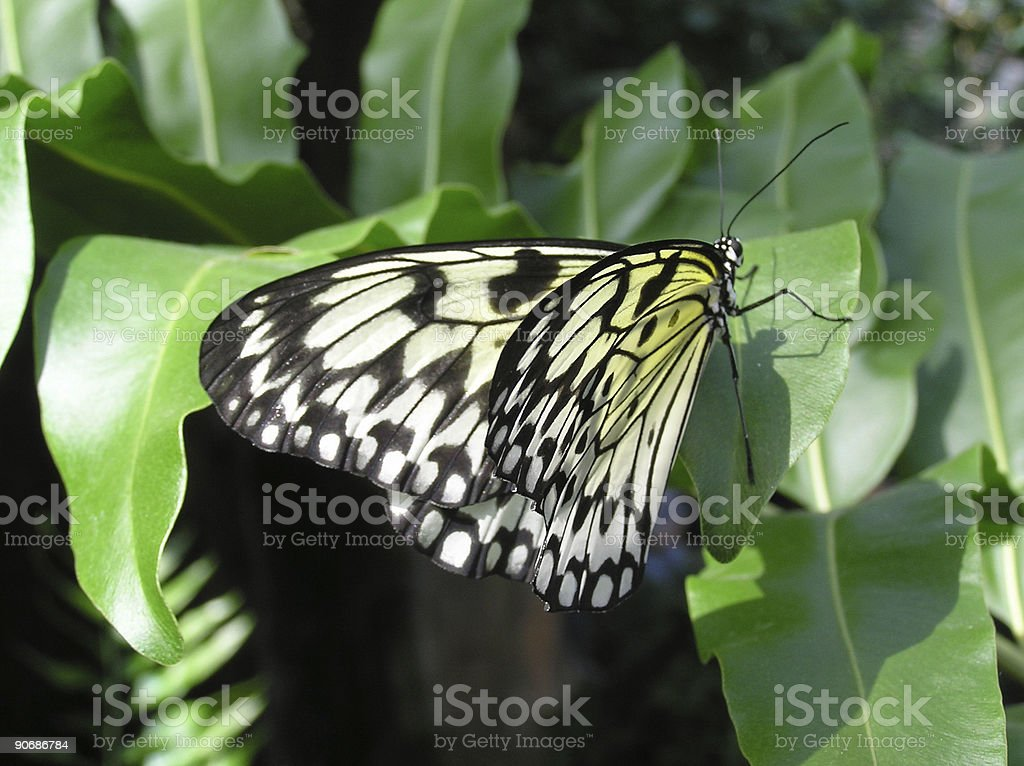 Black, white & yellow butterfly royalty-free stock photo