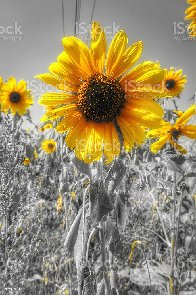 Black, White, Yellow Sunflowers Along Highway Road, Power Lines stock photo