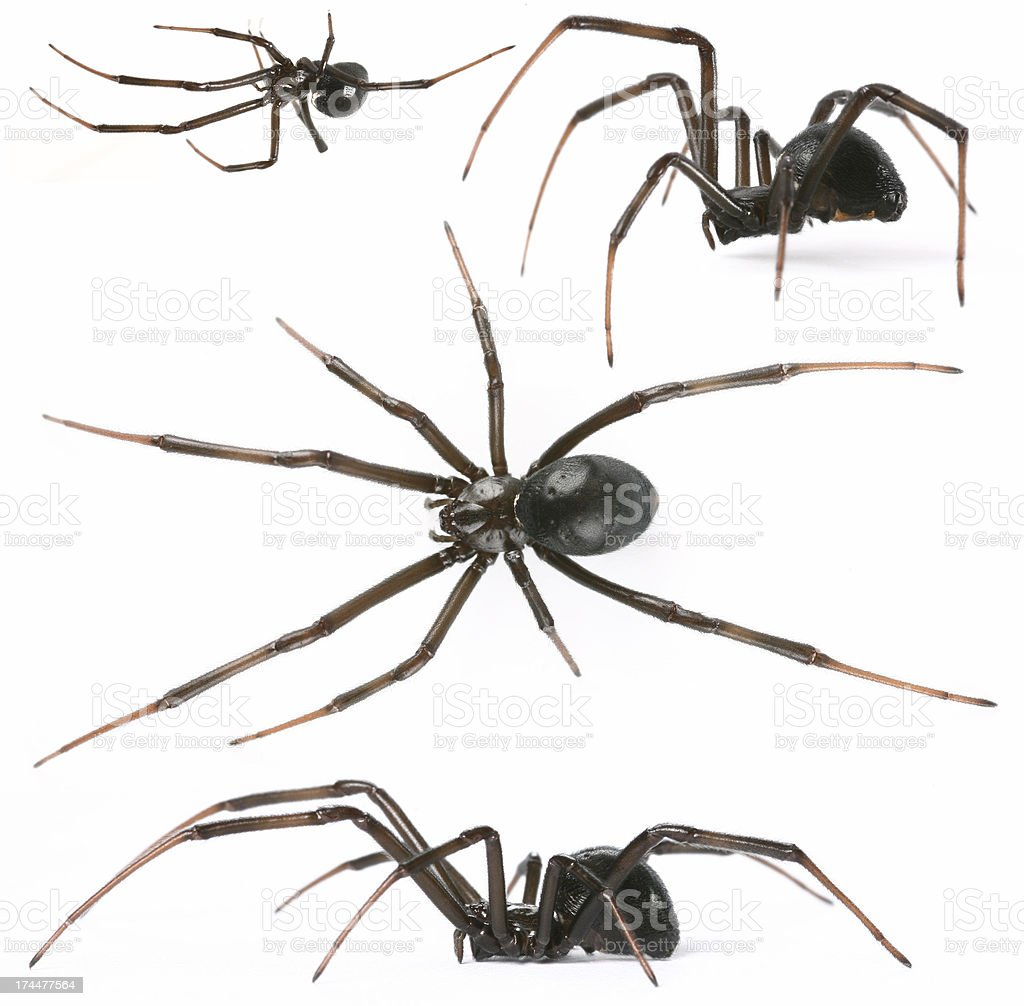 black widow royalty-free stock photo