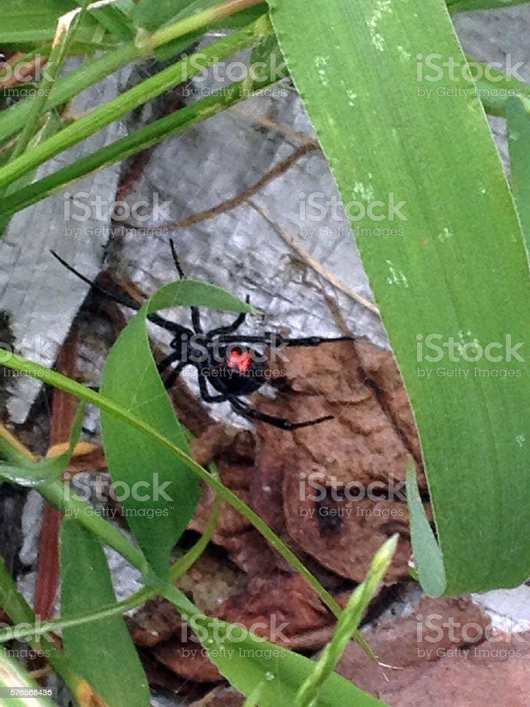 Black Widow Spider Close-up stock photo