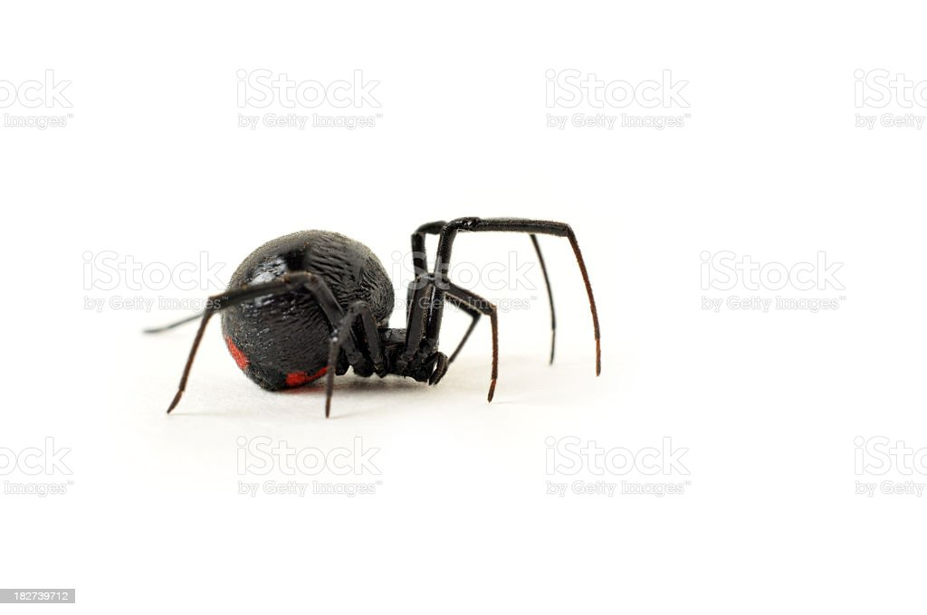Black Widow Spider Creeping Across a White Background stock photo