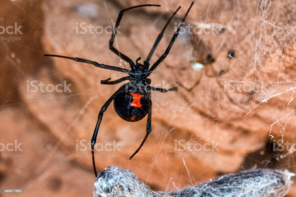 Black Widow Spider in Natural Environment stock photo