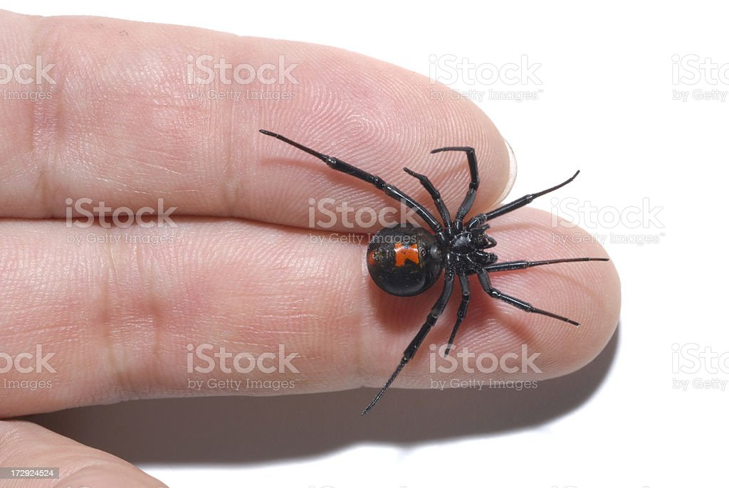 Black widow spider on fingertips royalty-free stock photo