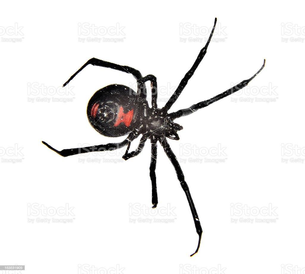 Black Widow Spider royalty-free stock photo