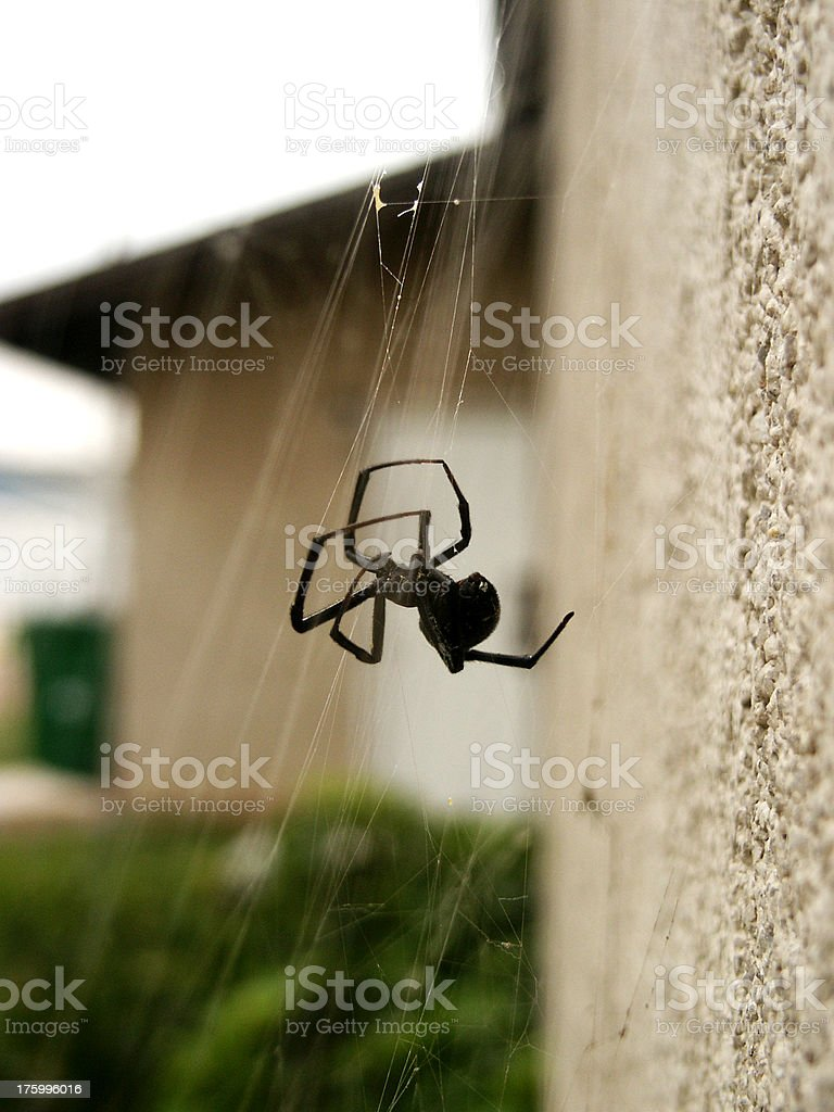 Black Widow Spider royalty-free stock photo