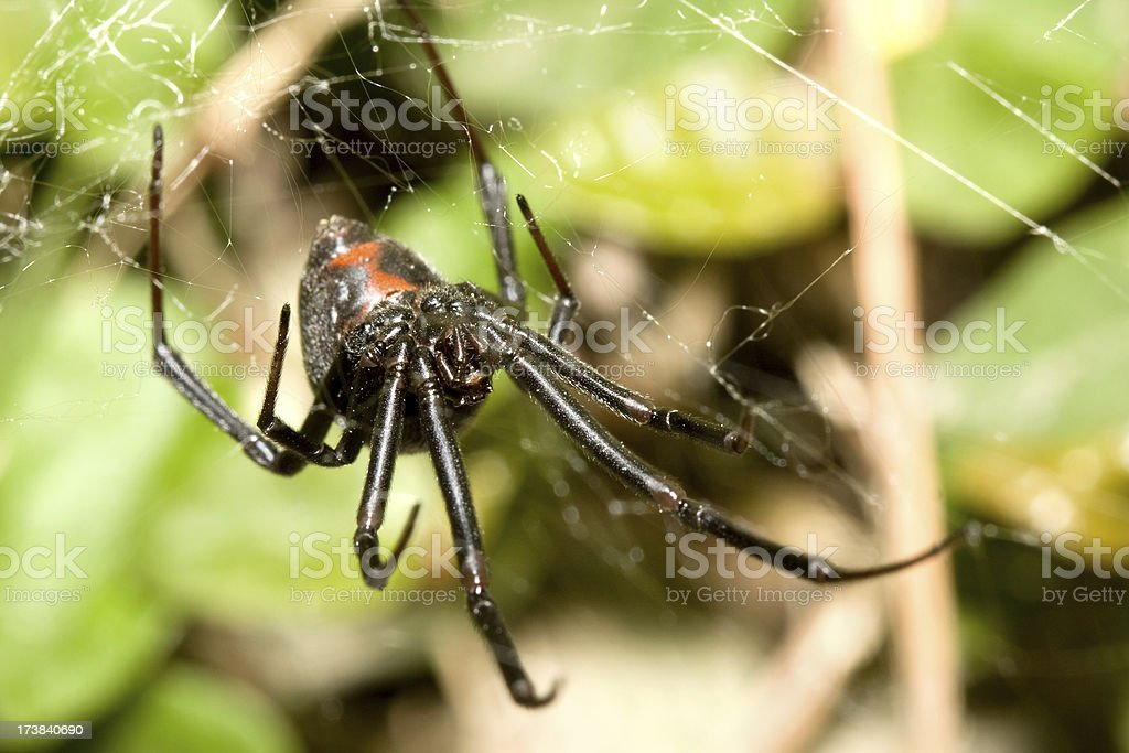 Black Widow Spider With Fangs on Web stock photo