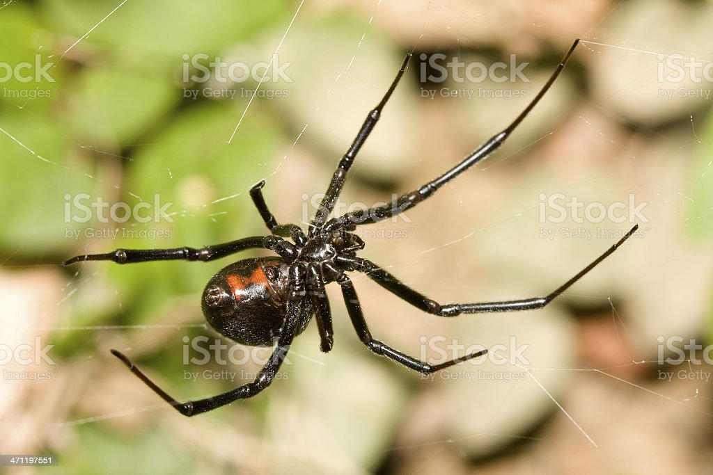 Black Widow Spider With Red Hourglass on Web stock photo