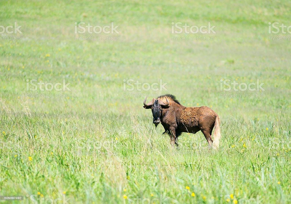 Black Wildebeest and flowers stock photo
