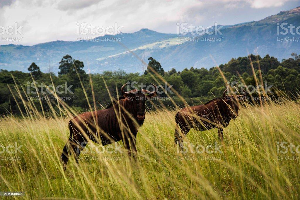 Black Wildebeest stock photo