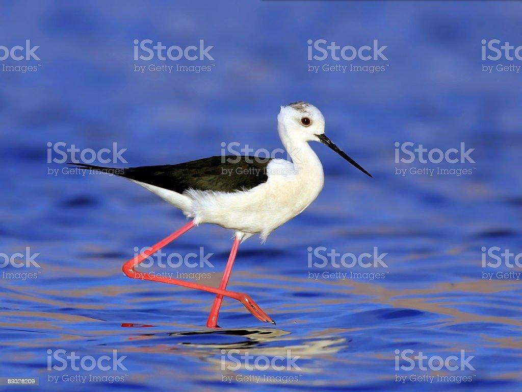 Black winged stilt royalty-free stock photo